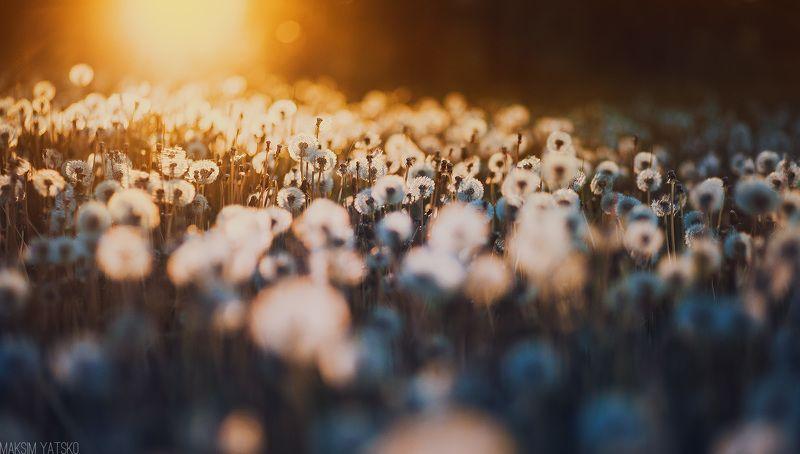 Dandelions, Decline, Evening, Summer, Sun, Закат, Одуванчики, Поле, Прокопьевск, Солнце Dandelionphoto preview