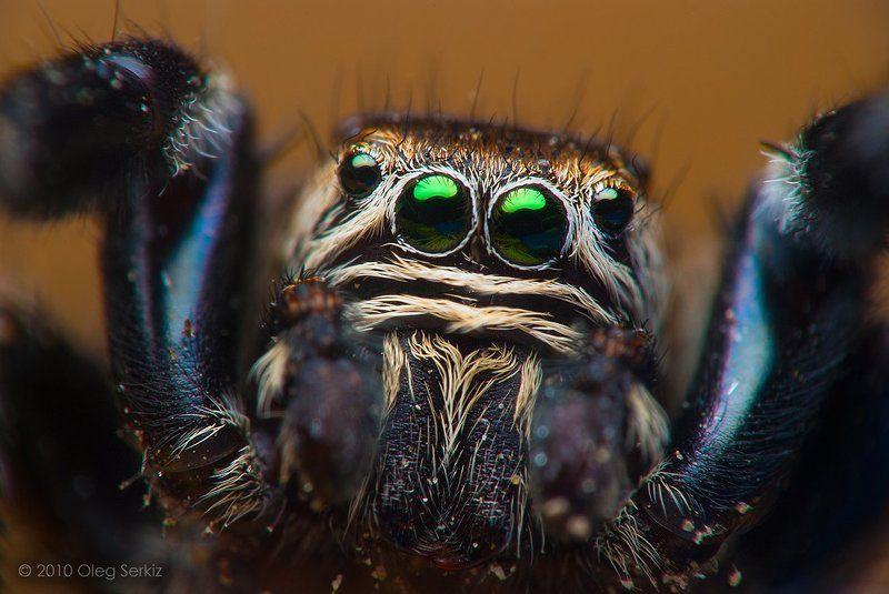 Портрет живого паука Evarcha arcuataphoto preview