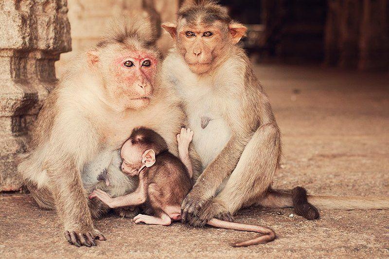 индийская семья обезьянphoto preview