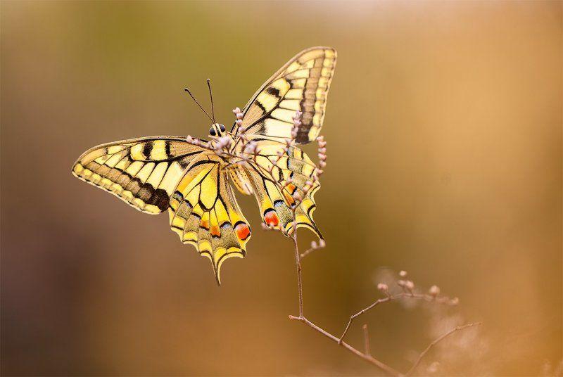 100mm l is f2.8, Aranjuez, Butterflies, Canon 5DMKII, Canon 600ex rt, El Regajal, Lepidoptera, Macro lens, Mariposas, Spain Butterflies of 2014 IIphoto preview