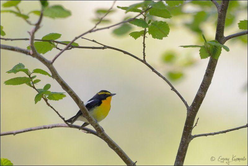 Птицы сахалина, Сахалин, Японская мухоловка Японская мухоловкаphoto preview