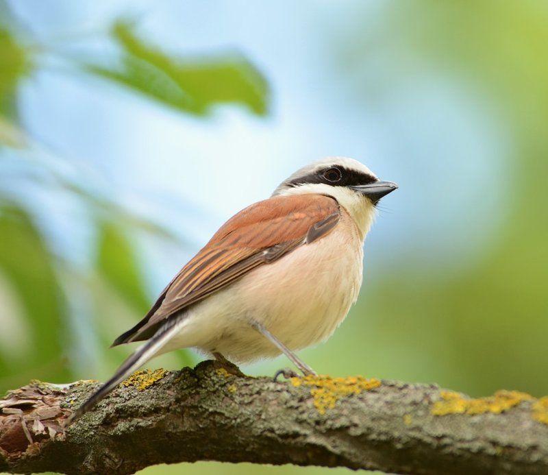 Птицы Жулан Жулан.photo preview