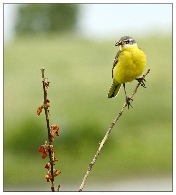 Nikon, Желтый, Охота, Природа, Птицы, Трясогузка Желтыеphoto preview