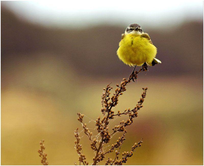 воронеж, желтый, лето, природа, трясогузка, цветы Sunphoto preview