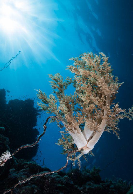 Corals, Sudan, UW Flowers UW Flowersphoto preview