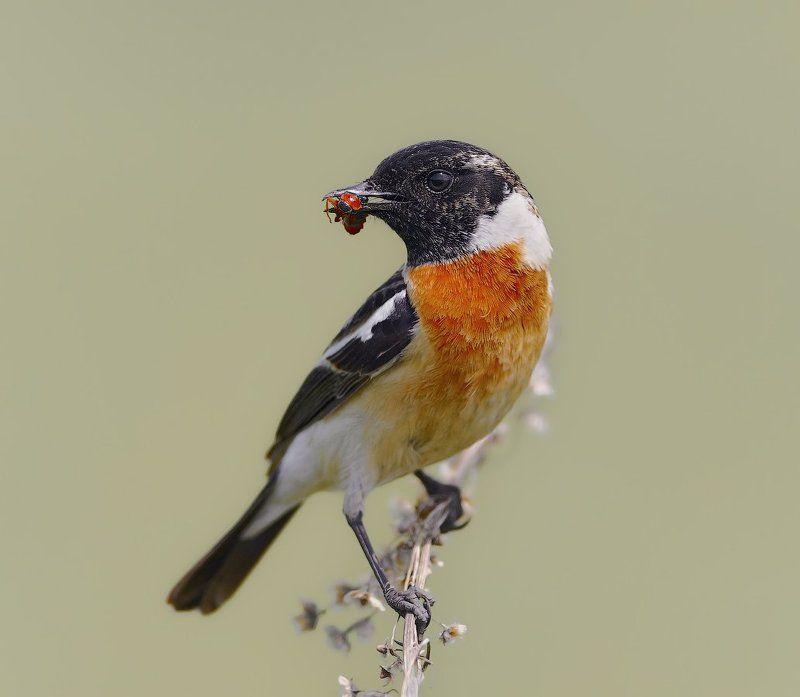 Saxicola rubetra, Vogel, Птицы ***photo preview