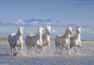 Белые лошади парка Камарг