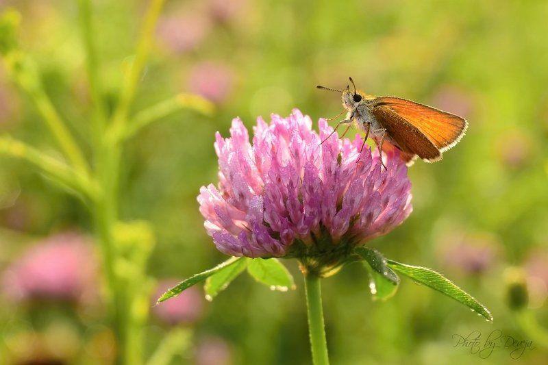 lepidoptera Thymelicus sylvestrisphoto preview