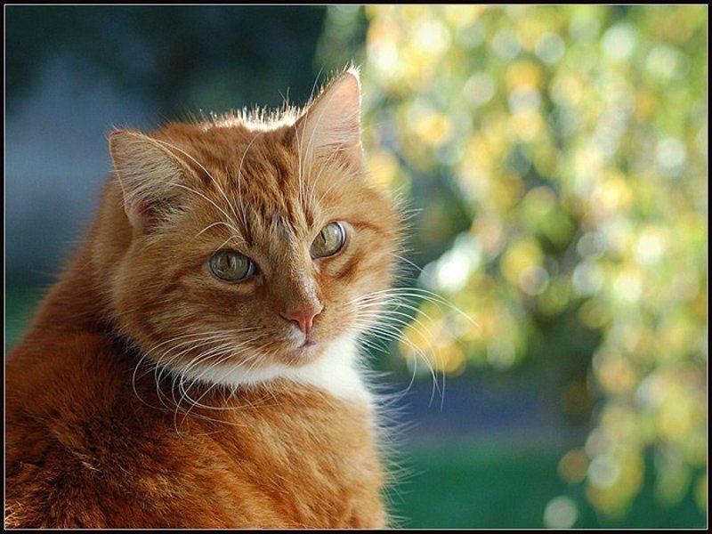 рыжик, окно, берёза, октябрь, 2006 Осенний Портрет...photo preview