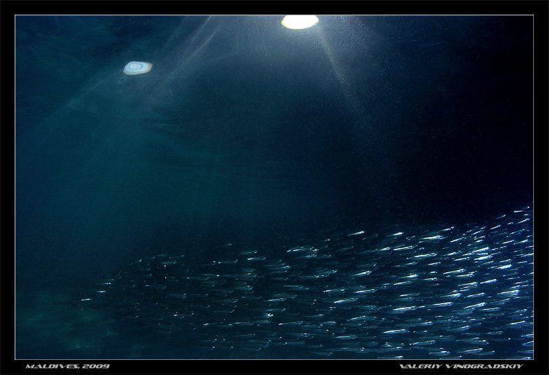 косяк, рыбы, море, океан, подвоное фото В стальном потокеphoto preview
