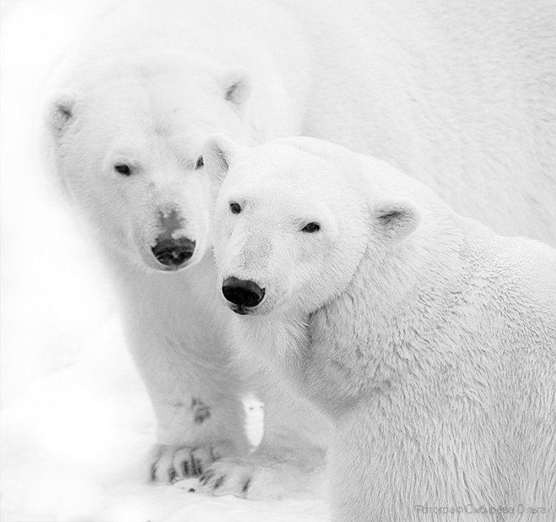 Северные мишки.  Прощание с зимой.photo preview