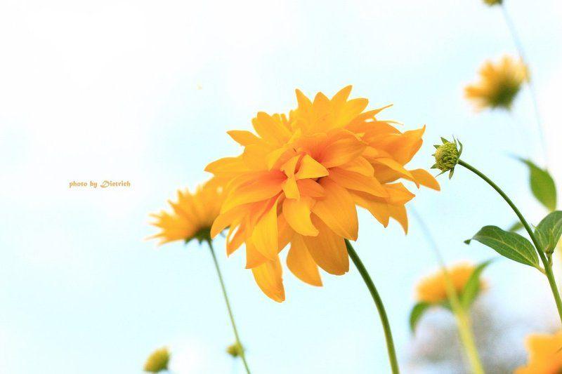 цветок Воспоминание о летеphoto preview