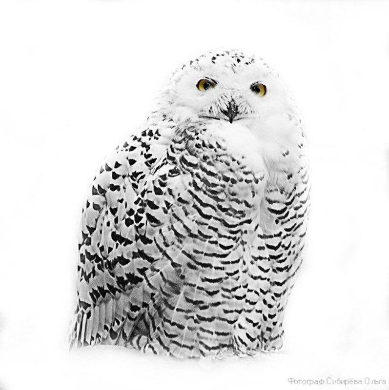 Белая сова или Snowy owlphoto preview