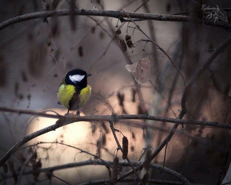 птица, синица, береза, ветка, зима, природа Птица-синица.photo preview