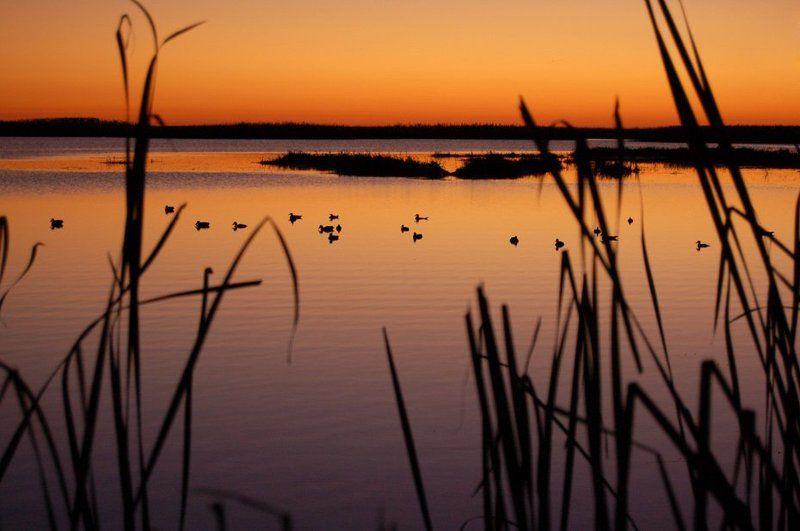 утки, вода, вечер, закат, озеро, камыш На вечерней зареphoto preview