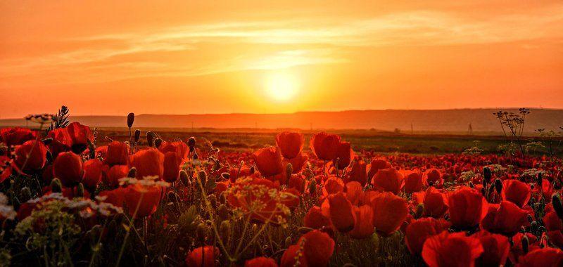 Poppy field, Tajikistan Lolazorphoto preview