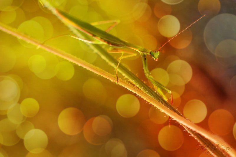 nature Mantis religiosaphoto preview