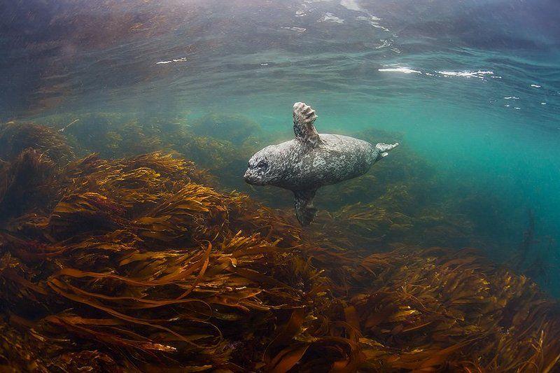 Антур, Берингово море, Командоры, Море, Подводное, Природа, Россия, Тюлень Маленькое привидениеphoto preview