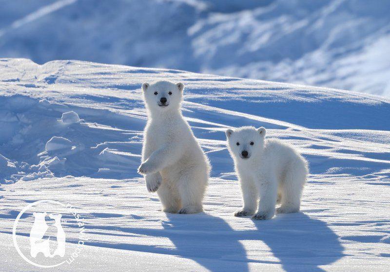 Арктика, Белый медведь, Дикая природа Полярные новобранцыphoto preview