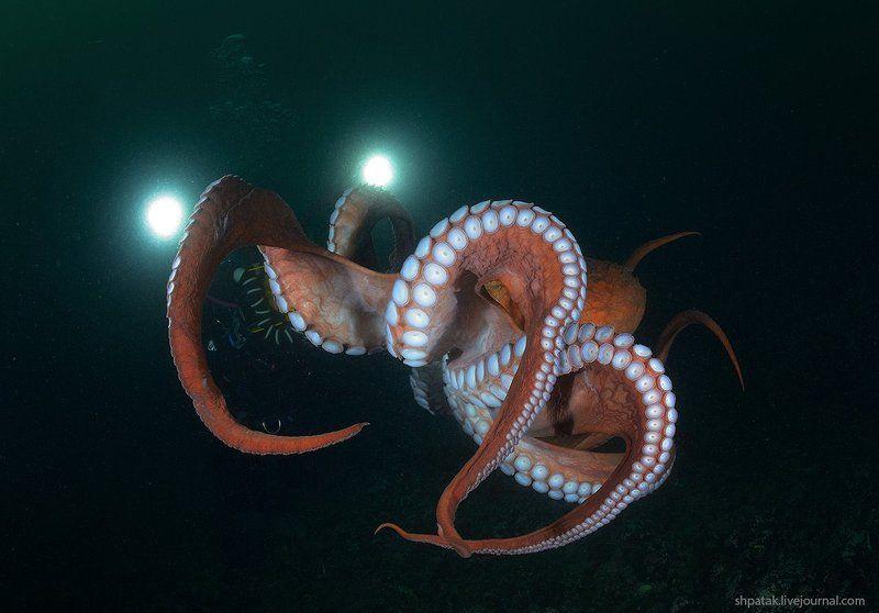 Бухта Рудная. Гигантский осьминог Дофлейна. Фаза раскрытого зонтика.photo preview