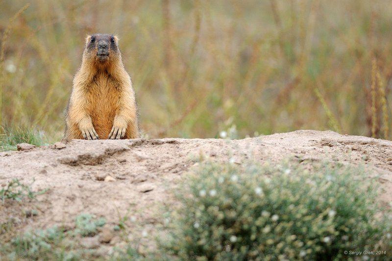 Marmot, Marmota bobak, Байбак Председательphoto preview