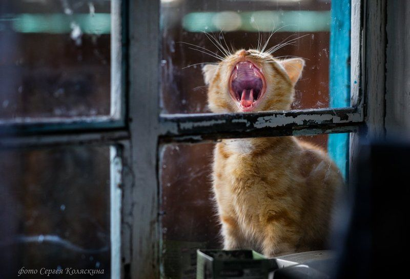 Деревня, Кот, Кошка, Песня, Рыжий, Рыжий кот, Серенада Кошачья серенадаphoto preview