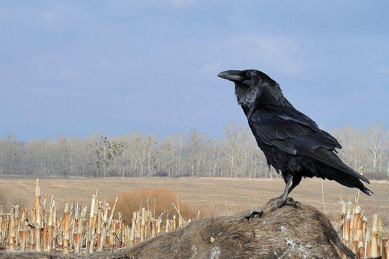Ворон - птица важнаяphoto preview
