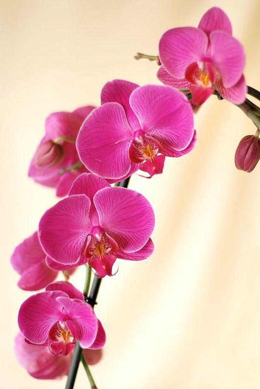 Ветка орхидеиphoto preview