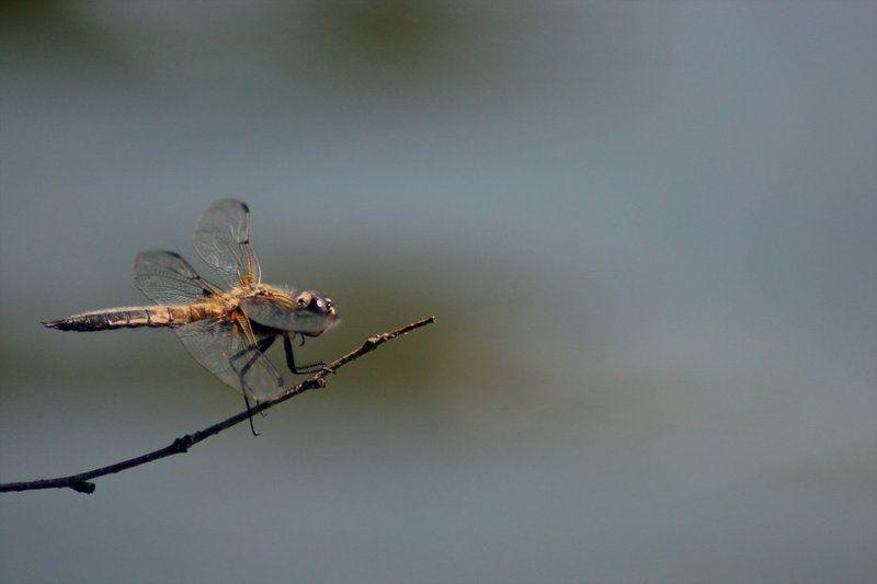 стрекоза, макро, озеро На взлетphoto preview