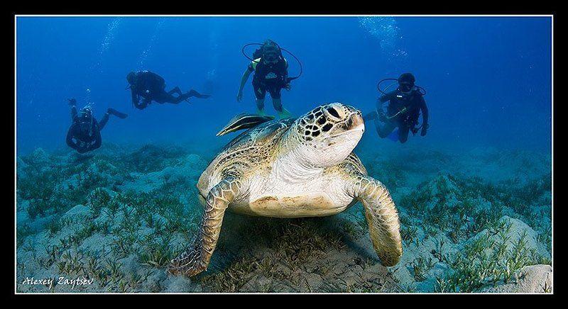 зайцев, обучение, подводной, фотографии, , красное, море, черепаха Шестеро на одногоphoto preview