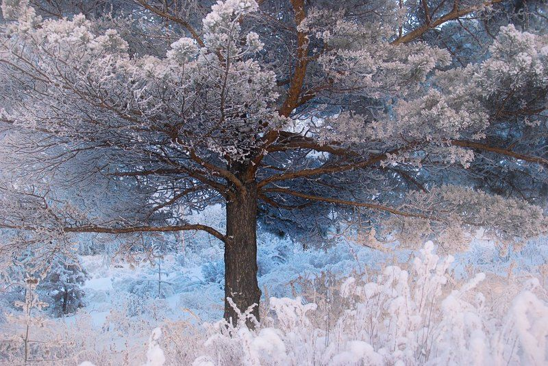 Ветви, Вечер, Вечер Сибирь раскидистое, дерево, Дерево, Заморозки, Зима, Иней, Кедр, Лес, Мороз, Раскидистый, Сибирь, Снег, Трава Изморозьphoto preview