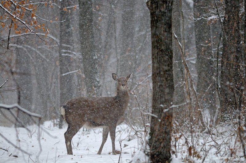 Forest, Sika deer, Snow, Wildlife, Лес, Природа, Пятнистый олень, Снег Снег идетphoto preview