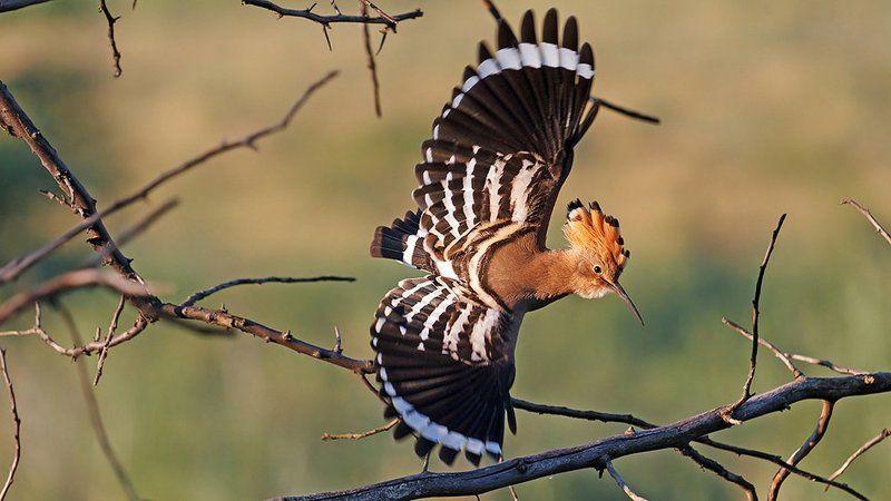 Дикая природа, Птица, Птицы, Удодптица Через тернии к звёздамphoto preview