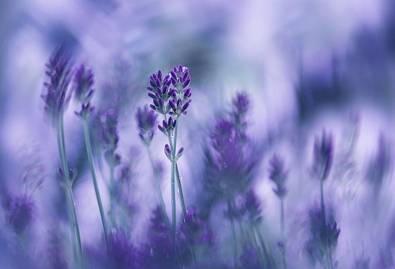 lavender dreamphoto preview