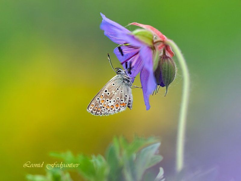 Blues, Butterfly, Бабочка, Герань луговая, Голубянка Flower Rhapsody And Bluesphoto preview