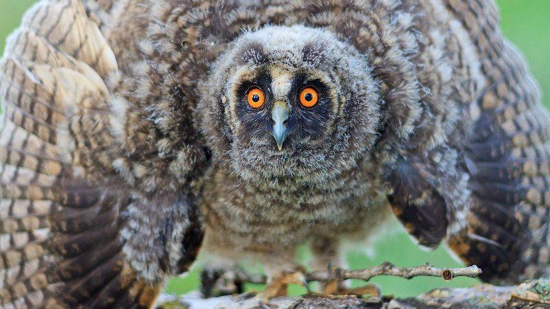Животные, Птица, Сова ушастая Фарыphoto preview
