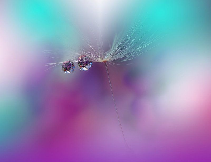 macro,closeup,drop,water,dandelion,nikon .\\o.o/.photo preview