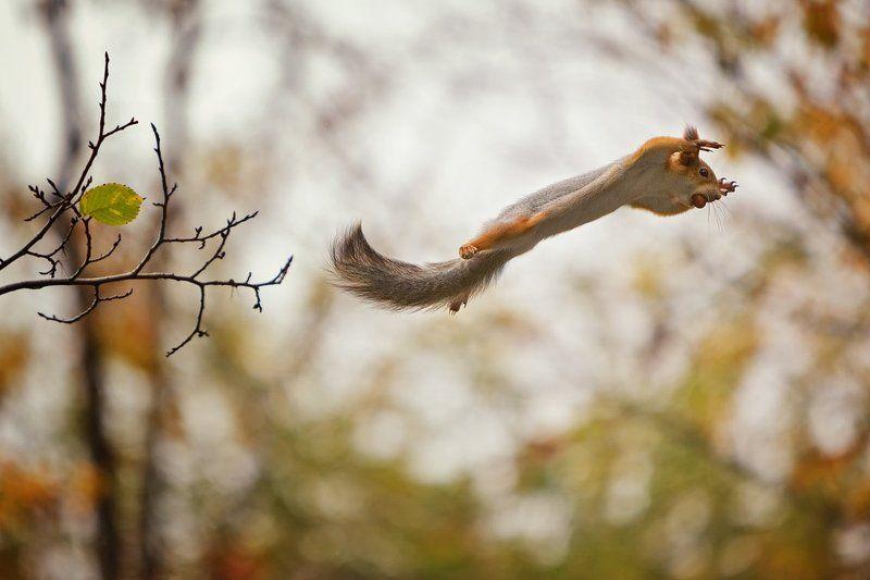 белка полет орех осень Полет с добычейphoto preview