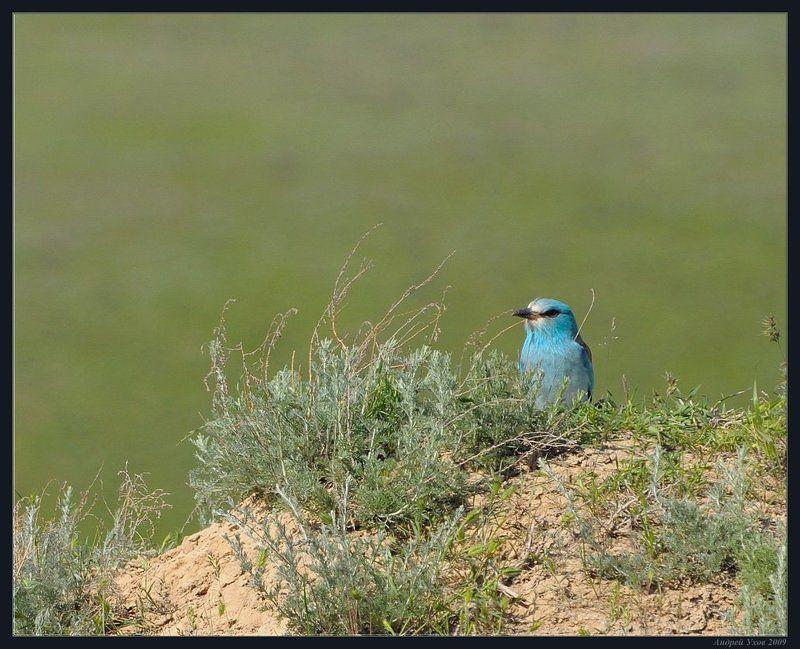 синяя,птица,природа,весна,горы,куст Птица счастьяphoto preview