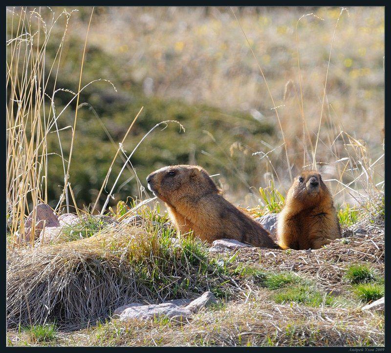 природа,горы,весна,жизнь,животные,сурки,нора,семья,счастье Сладкая парочкаphoto preview
