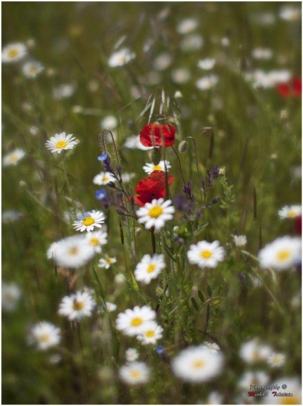 полевые цветыphoto preview