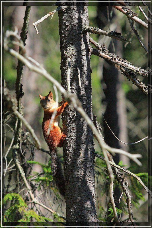 лес, белка Красоткаphoto preview
