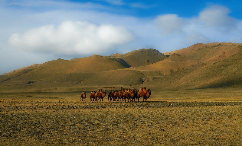 Camels, Caravan, Верблюды, Животные, Караван Караванphoto preview