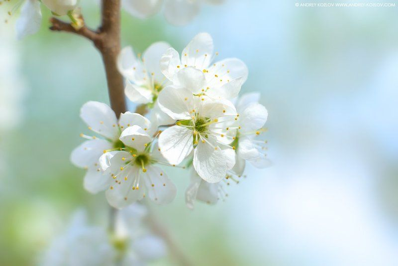 Blossom, Blue, Cherry, Flowers, Garden, Nature, Sakura Cherry Flowersphoto preview