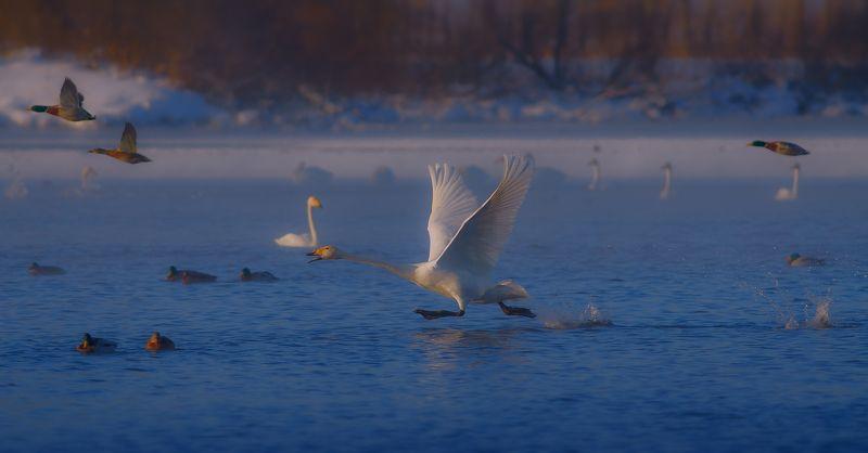 Cygnus cygnus, Зима, Лебеди-кликуны, Озеро, Птицы, Утро Разбегphoto preview