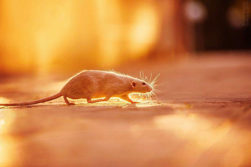 Солнечная крысаphoto preview