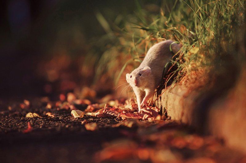 Крыса на прогулкеphoto preview