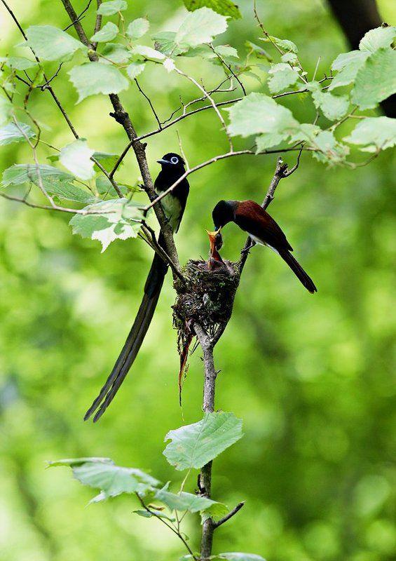 a Korean paradise flycatcherphoto preview