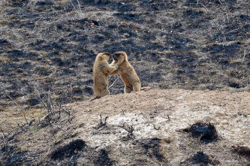 Animal, Marmot, Marmota bobak, Nature, Wildlife, Байбак, Весна, Грызуны, Животные Весенние боиphoto preview