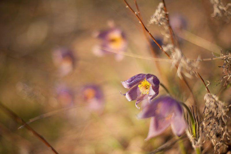 сонтрава, прострел, весна, цветы Сон-траваphoto preview